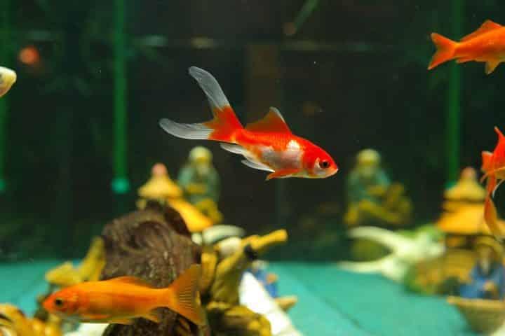 Combien de nourriture dois-je donner à mon poisson rouge?