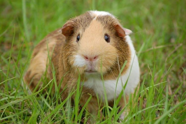 Pourquoi mon cochon d'inde perd ses dents ?
