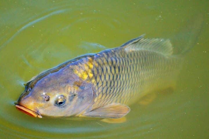 Pêche à la carpe :