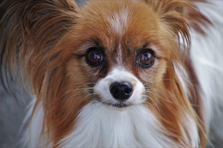 Comment soigner la conjonctivite chez le chien?