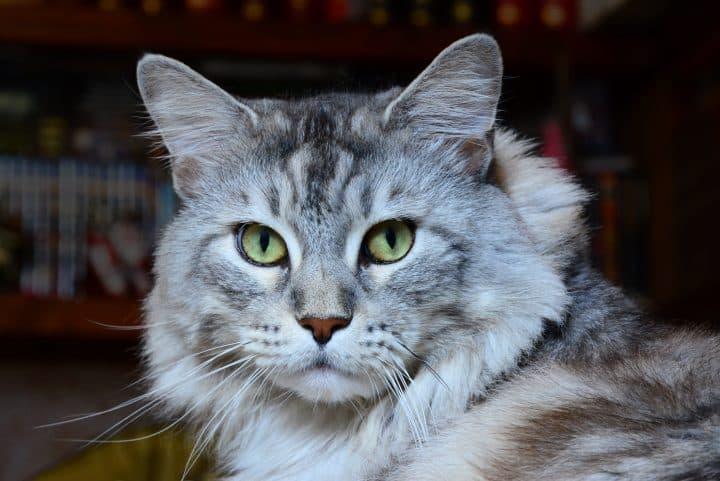 Comment prendre soin de votre chat senior ?