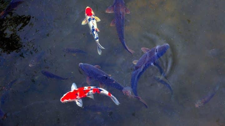 La carpe koi : un poisson fait pour les bassins extérieurs